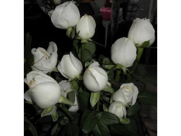 White Rose with one greeting card (12 Pcs)
